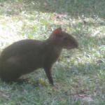 An agouti - they are frequent visitors to the garden