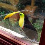 Beautiful toucan outside of office window
