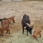 Une maman chèvre et ses petits.