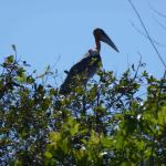 The unique Greater Adjutant. Only some left in the world.