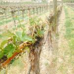 Vines@Canyon Wind