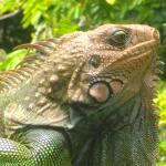 iguana at the school