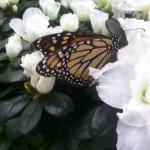monarch in butterfly house