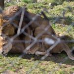 Zwei Löwenmännchen (einer hat die Mähne durch eine Krankheit verloren)