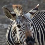 'Wütendes' Zebra