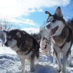 chiens de traineau 2