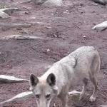 Foto de Tsitsikamma Wolf Sanctuary