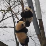 cubs fooling around.