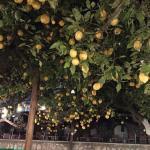 lemon tree at pool area