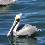 Wild Ocean Seafood - pelican waiting for sample from fishing boat