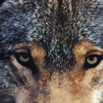 Фотография Hungry Wolf