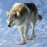 Ambassador wolf