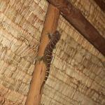 Ceci est un gecko qui hurle toute la nuite !!