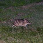 Eastern Barred Bandicoot, a threatened native animal, resident at the motel