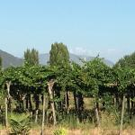 Vines with the Andes in the distance