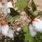 Bomullsplanta i trädgården