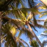 Cocottiers