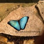Blue morpho butterfly by www.mindocloudforest.com
