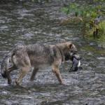 Wolf im Fish Creek