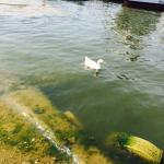Ducks in bada talab bhopal