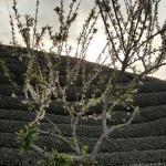 八卦茶圓-雍富休閒茶莊