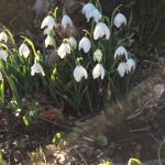 Cambo snowdrops during the snowdrop festival. Well worth visiting for the sheer stunning beauty,