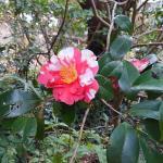 椿の花。こんなのもあるなんて知らなかったよ。