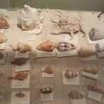 Examples of old seashells found.