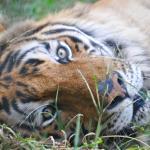 Ramses, der Tiger ...