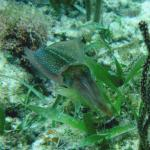 One of 3 squid seen at an inner caye