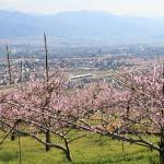 Yamanashi City Peach Fields