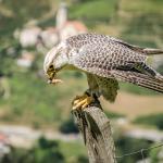 Flugshow - Falke