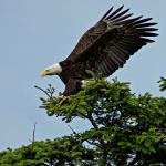 Eagles are a staple on the Nisqually Refuge