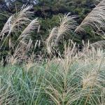 草嶺古道 -- 芒草季