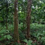 Cacao Monkeys Foto