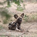 Wild dog - one of the highlights of Madikwe