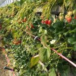 石垣からたくさんのイチゴ。(中はポカポカ)