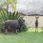 Nyala finding shade close to the swimming pool