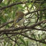 #1 The very special views of the forty spotted pardalote