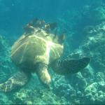 Turtle with fish eating the algae