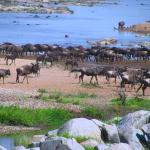 Migrations in Serengeti