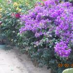 Photo of Les Bougainvilliers