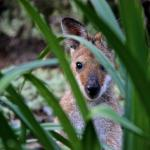 Meet our namesake Red Neck Wallaby