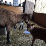 There were three baby goats when we were there!