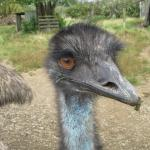 An eye-to-eye encounter with one of the emus :).