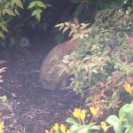A bunny out at my window on 1st floor after rainy day
