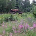 Moose & Fireweed!