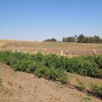This is the field where they grow the heirloom tomatoes. Sometimes they have U-pick days.