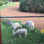 Sheeps at the front door