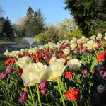 Springs Tulips & Fountain